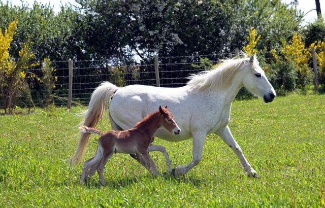 Un poulain et sa maman au Centre équestre