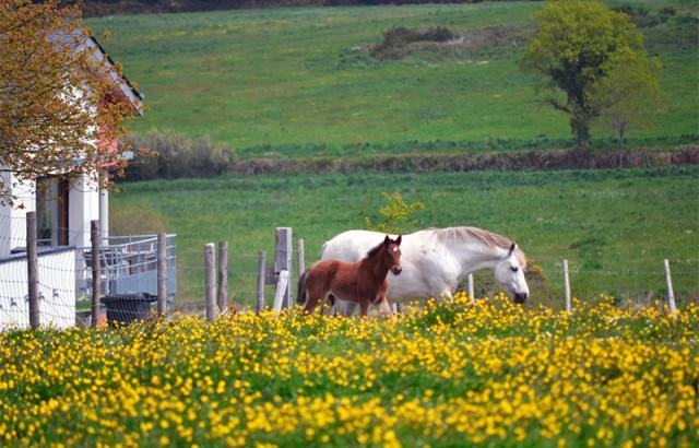 Les chevaux paissent devant les Hauts de Toulvern