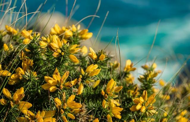 Genêts fleuris sur la côte © Yannick Derennes
