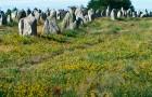 Les alignements de Carnac en fleurs © Morbihan tourisme - Marc Schaffner